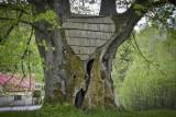 Strom roku 2017 - jedním z nominovaných je Sedloňovská lípa