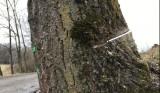 Poškozený strom v aleji, Zašová, 2021