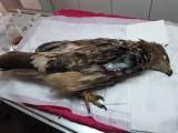 Orlice podstoupila operaci, při níž jí muselo být křídlo amputováno (foto Záchranná stanice v Rajhradě)