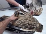 Nárazem do nadzemního vedení velmi vysokého napětí si způsobila otevřenou zlomeninu levého křídla (foto Záchranná stance v Rajhradě)