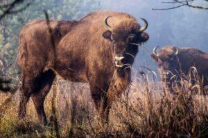Ohrožený druh velkých kopytníků – zubr evropský našel díky České krajině nové útočiště (foto Michal Kopping)