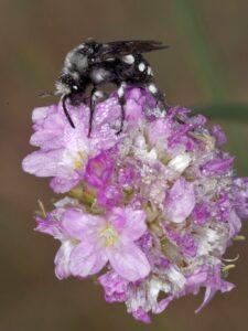Parazitická včela smutilka (foto Jan Erhart)