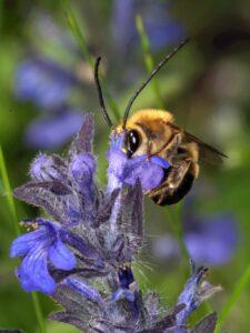 Včela stepnice je věrná svému jménu, vyhledává stepní biotopy. Díky údržbě vedení je nachází paradoxně i v lese (foto Jan Erhart)