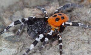 Pavouk stepník černonohý patři mezi kriticky ohrožené druhy (foto Jan Erhart)
