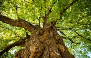 Strom roku 2021 - Zpívající lípa, Telecí u poličky
